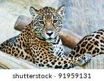 Wild Leopard  Taken On A Sunny...