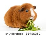 Brown Guinea Pig With Salad In...