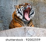 Sumatran Tiger Giving A Big...