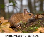 close up of yellow necked mouse on the forest floor - stock photo