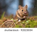 wild wood mouse sitting on the... | Shutterstock . vector #92023034