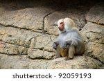 Adult Male  Baboon  Papio...