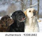 Three Color Labradors