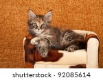 Maine Coon Kitten On Cow Hide...