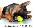 German Shepherd Dog  4 Months...