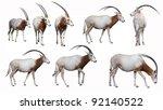 Scimitar Horned Oryx Antelope ...