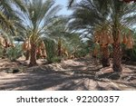 Date palm trees orchard - stock photo