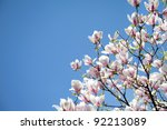 Magnolia Trees Over Blue Sky