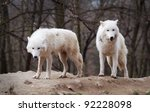 Two Arctic Wolves Photographed...