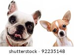 Stock photo picture of two little dogs chihuahua and french bull dog looking at the camera 92235148