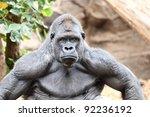 Gorilla   Silverback Gorilla...
