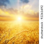 Golden Wheat Field And Sunset....