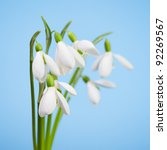 beautiful snowdrops on a blue...   Shutterstock . vector #92269567