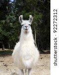 A White Llama Walking Toward...