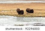 Muskox Bull And Cow - stock photo