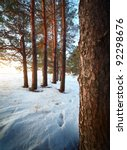 Group Of A Pine Trees In A...