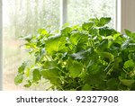 Lemon balm herb plant (Melissa officinalis)  in kitchen window with sunlit raindrops on window pane.  Macro with shallow dof. - stock photo