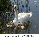 Young Swans  With Mother In...