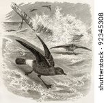 Small photo of European Storm Petrel old illustration (Hydrobates pelagicus). Created by Kretschmer and Illner, published on Merveilles de la Nature, Bailliere et fils, Paris, ca. 1878