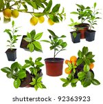 Group Of Young Potted Citrus...