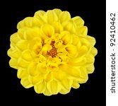 Dahlia Flower - Yellow Petals with Yellow Center Isolated on Black Background - stock photo