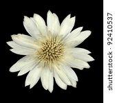White Cornflower Like Flower Isolated on Black Background - stock photo