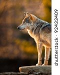 Mexican Gray Wolf  Canis Lupus