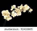 White Orchid Isolated On Black...