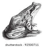 Common Frog  Rana Temporaria...