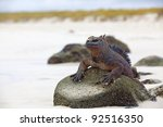 A Marine Iguana Walking On The...