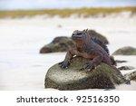 A Marine Iguana Walking On The...