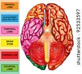 human brain underside view | Shutterstock . vector #92533597
