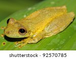 a cute amazon snouted frog ... | Shutterstock . vector #92570785