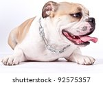 english bulldog laying down looking away isolated on white background - stock photo