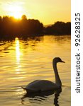 swan on river at sunset - stock photo