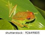a polka dot treefrog ... | Shutterstock . vector #92649805