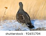 Wild Spruce Grouse Kananaskis Country Alberta Canada - stock photo