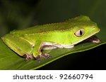 a razor backed monkey treefrog  ... | Shutterstock . vector #92660794