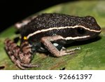 Small photo of A Poison Dart Frog (Ameerega hahneli) in the Peruvian Amazon