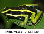 Small photo of Three-striped Poison Dart Frog (Ameerega trivittata) in the Peruvian Amazon