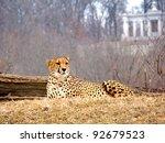 Cheetah Acinonyx...