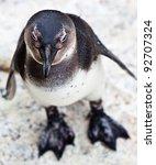 Black Footed African Penguin I...