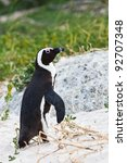 Black Footed African Penguin...