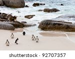Black Footed African Penguins...