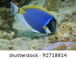 Powder blue tang in the coral reef - stock photo
