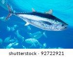 Bluefin Tuna Thunnus Thynnus...
