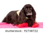 Senior black cocker spaniel dog isolated on white backdrop - stock photo