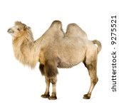 dromedary in front of a white...   Shutterstock . vector #9275521