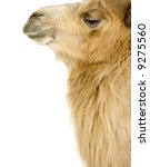 dromedary in front of a white... | Shutterstock . vector #9275560