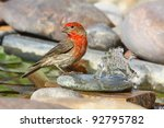 Male House Finch At Water...